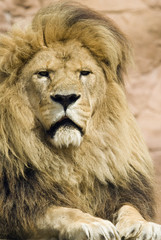 Close up of Lion (Panthera leo) - portrait orientation