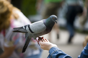 The pigeon on a hand in park