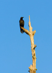 Blackbird Perched On Dead Tree