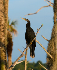 Double-Crested Cormorant Perched