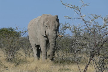 elephant enorme