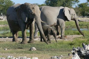 baby bébé éléphant elephant