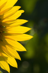 the detail of a beautiful yellow sunflower