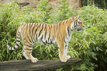 Amur Tiger (Panthera tigris altaica) landscape orientation