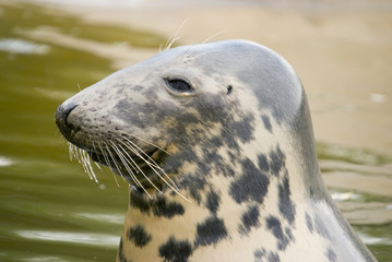 Fototapeta premium Grey Seal (Halichoerus grypus) - landscape orientation