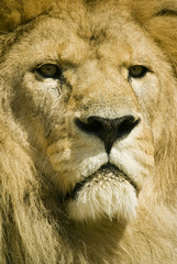 Close up of Lion (Panthera leo) - landscape orientation