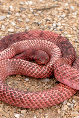 A bright red western coachwhip