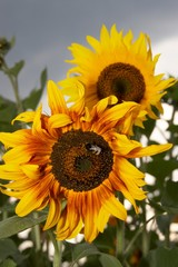 Sunflowers and a bumblebee in a field on a  cloudy sky