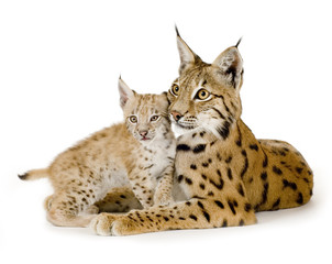 Spoed Fotobehang Lynx Lynx and her cub in front of a white background