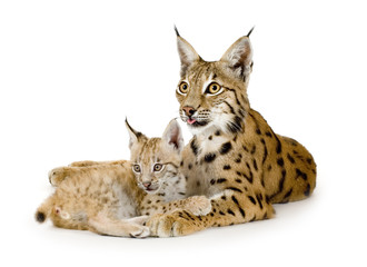 Foto op Plexiglas Lynx Lynx and her cub in front of a white background