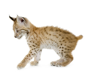 Foto op Plexiglas Lynx Lynx cub in front of a white background