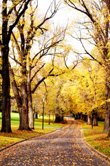 Fall colors ~ golden elm trees in a city park
