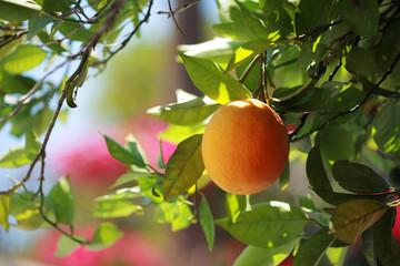 Wall Mural - Ripe organic oranges on tree