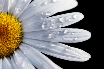 Macro close-up of a daisy flower isolated on black.
