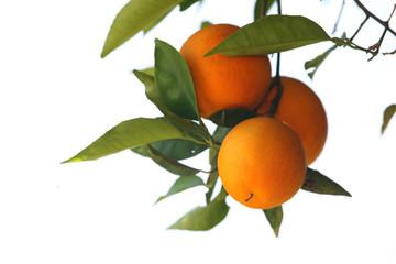 Wall Mural - A  branch with three ripe oranges