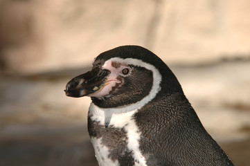 A portrait of a penguin with a light rocky background.