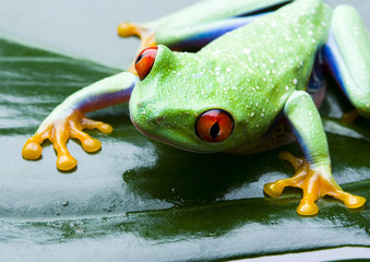 red eyed frog on green leaf