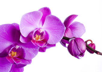 purple orchid on the white background