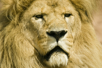 Close up of Lion (Panthera leo) - landscape orientation