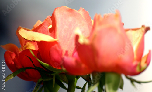 Fleurs Rose Rouge Petale Rosee Nature Amour Stock Photo And