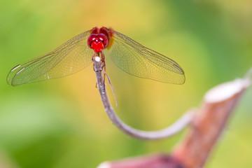 darter dragonfly (Urothemis signata)