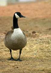 Canadian goose with plenty of room for copy space.