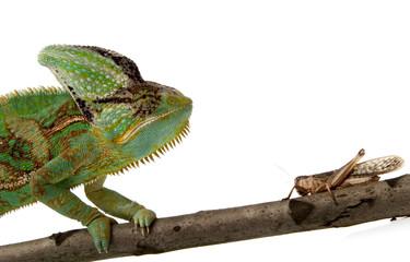 chameleon and cricket