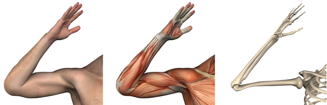 Anatomical Overlays - right arm - 3D render