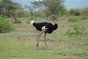 Kenya, Samburu - Somali Ostrich
