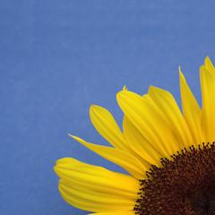 Sunflower on blue background (corner cropped)