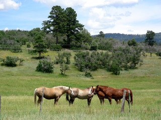 Gathering of male horses on a Southwestern ranch
