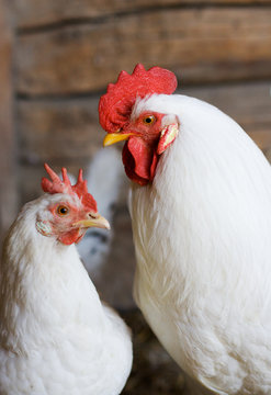 white rooster and hen couple