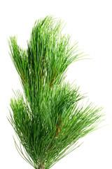 siberian cedar(siberian pine) branch isolated on white