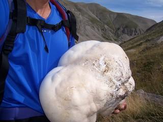 champignon geant