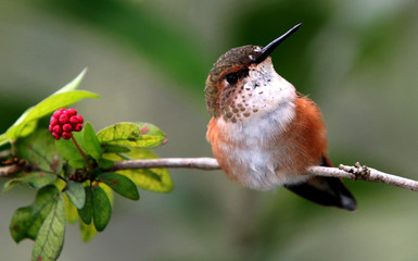 BROWN HUMMINGBIRD