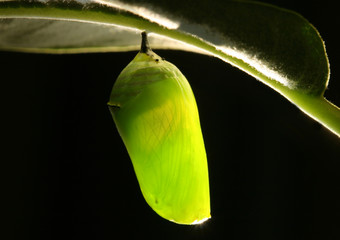 Monarch Caterpillar in cocoon