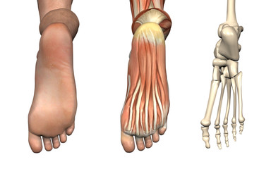 Anatomical Overlays - Bottom of the Foot