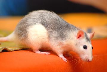 Ratte am Abgrund