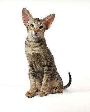 The striped kitten of breed of Oriental