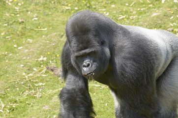 A silverback gorilla at feeding time in a zoo