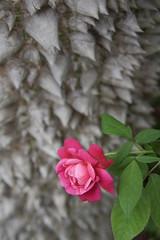 Beauty Among Thorns