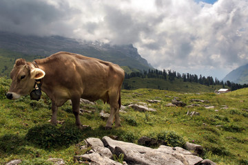 Alps and cow