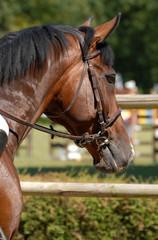 cheval de concours hippique