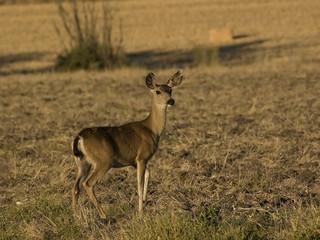 Printed roller blinds Antelope Deer