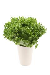 lettuce - lollo bindo