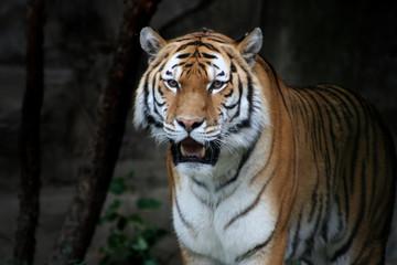 Tiger Against Black