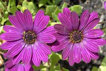 fleurs osteopermum violettes
