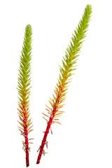 Euphorbia paralias isolated on white