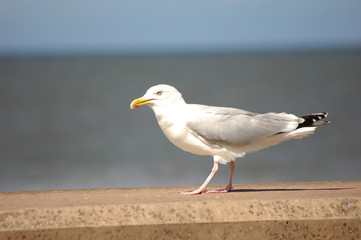 Seagull on seafront wall