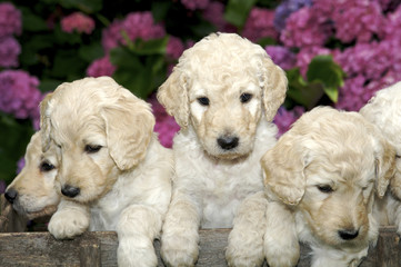Sweet Little Golden Labradoodle puppies
